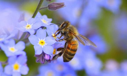 The buzz about honeybees