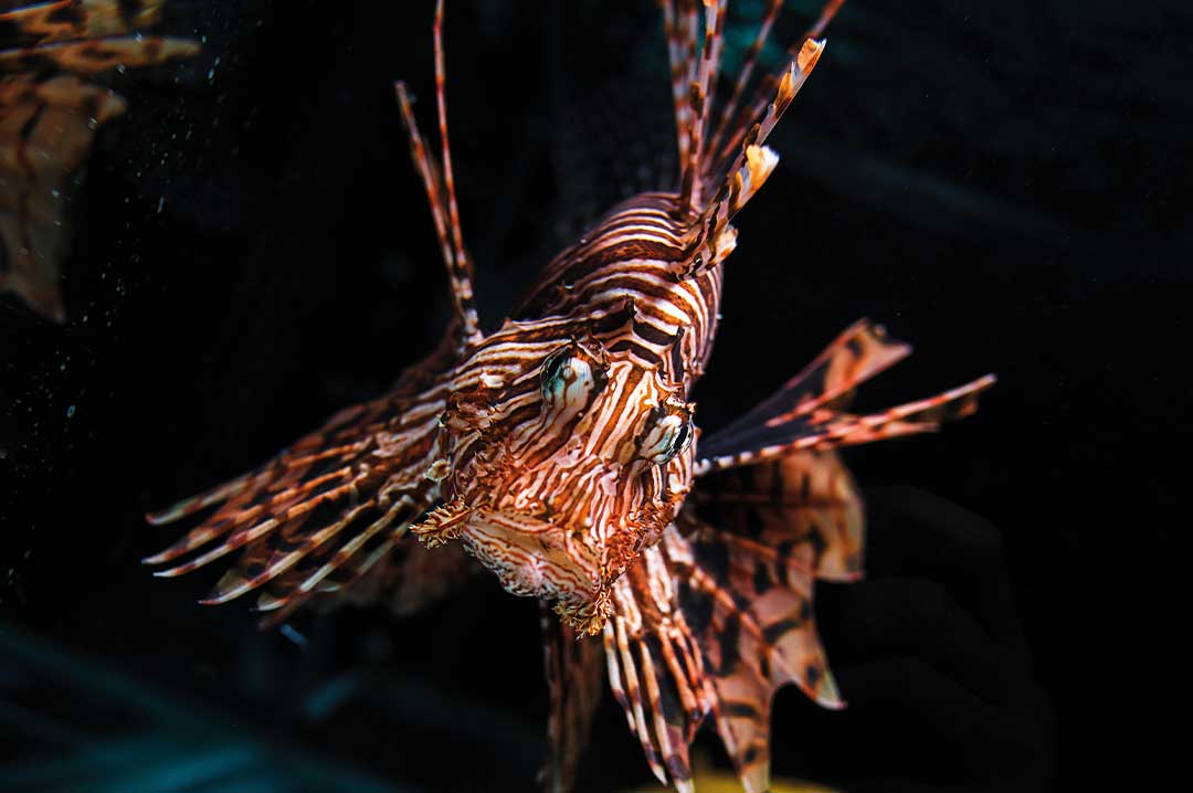 a red lion fish